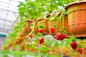 jahody v závěsném květináči